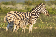Africa, Namibia, Etosha National Park, burchell's zebras, Equus quagga burchelli, mother and young animal - FOF10027