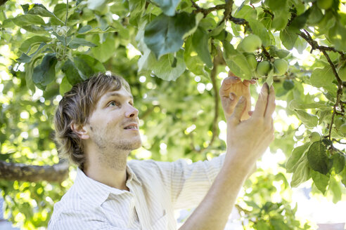 Man examining green apples on apple tree - JESF00024