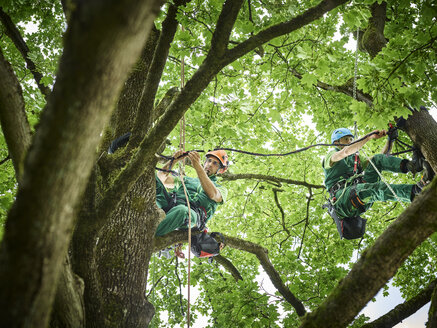 Tree cutters hanging on ropes in tree - CVF01052
