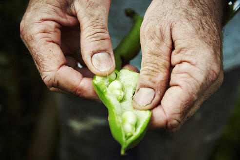 A gardener holding and prising open a bean pod to show fresh green broad beans. - MINF07396