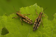Close up of two brown crickets, insects with brown and yellow markings on a leaf. - MINF07459