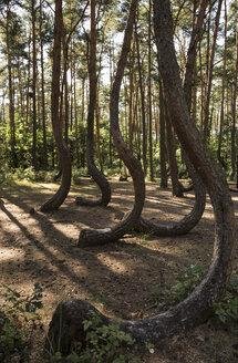 Poland, Nowe Czarnowo, Crooked Forest - FCF01444