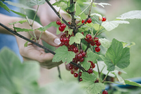 Young woman harvesting red currants - KNTF01215