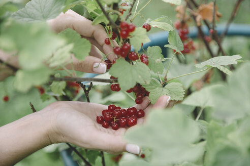 Young woman harvesting red currants - KNTF01218
