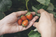 Young woman harvesting strawberries - KNTF01221