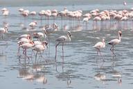 Namibia, Walvis Bay, flock of American flamingos and Lesser flamingos - FOF10048