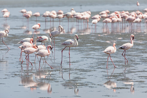 Namibia, Walvis Bay, flock of American flamingos and Lesser flamingos - FOF10048