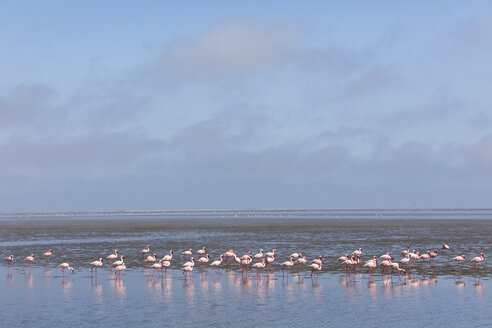 Namibia, Walvis Bay, flock of American flamingos and Lesser flamingos - FOF10051