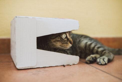 Tabby cat in a cardboard box - RAEF02105