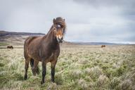 Iceland, Hvalfjoerdur, Icelandic horses - KEBF00852