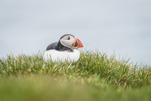 Iceland, Latrabjarg, puffin, Fratercula arctica - KEBF00855