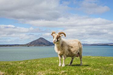 Iceland, Lake Myvatn, Sheep - KEBF00873