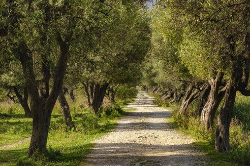 Albania, Vlore County, Borsh, way through olive grove - SIEF07888