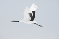 Red-Crowned Cranes, Grus japonensis, mid-air in winter. - MINF08708