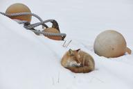 Ezo red fox, Vulpes vulpes schrencki, in winter. - MINF08768