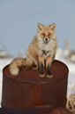 Ezo red fox, Vulpes vulpes schrencki, sitting on rusty metal drum in winter. - MINF08771