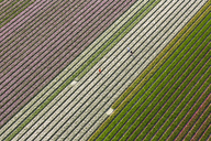 Aerial view of rows of colourful fields of tulips. - MINF08801