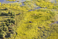 Aerial view of African Elephant walking across lush delta. - MINF08846
