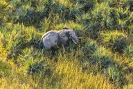 Aerial view of African Elephant standing in lush delta. - MINF08852
