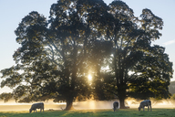 Sunrise over misty landscape with two trees, herd of cows grazing underneath. - MINF08900