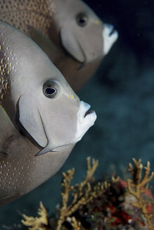 Pair of Gary angelfish (Pomacanthus arcuatus), on a reef in the Florida Keys National Marine Sanctuary. - MINF08924