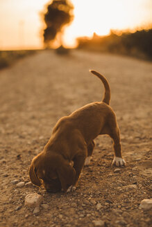 Brown puppy standing on a path smelling something at sunset - ACPF00238