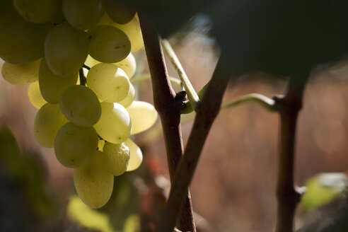 Green grapes on vine stock - BZF00451