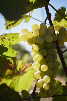Green grapes on vine stock - BZF00454