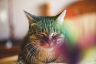 Portrait of snoozing cat - RAEF02114