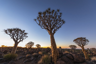 Africa, Namibia, Keetmanshoop, Quiver Tree Forest at dawn - FOF10134
