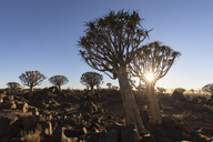Africa, Namibia, Keetmanshoop, Quiver Tree Forest at sunrise - FOF10137