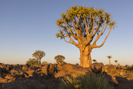 Africa, Namibia, Keetmanshoop, Quiver Tree Forest in the evening light - FOF10166