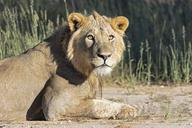 Botswana, Kgalagadi Transfrontier Park, young male lion, Panthera leo - FOF10185