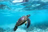 Underwater View Of Hawaiian Sea Turtles In Their Habitat In Hawaii - AURF01679
