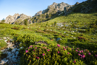 View of mountains and alpine flowers in Devero National Park at sunrise. Ossola, Italy. - AURF01730