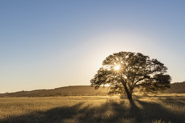 Botswana, Kgalagadi Transfrontier Park, Kalahari, camelthorn at sunrise - FOF10190
