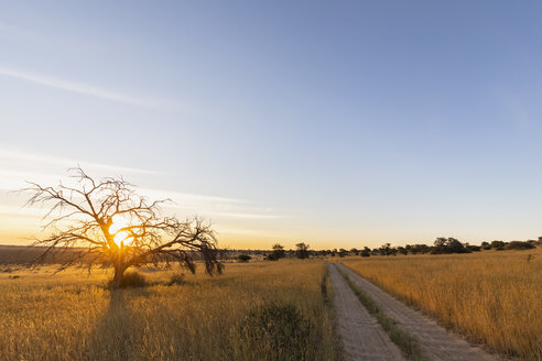 Botswana, Kgalagadi Transfrontier Park, Kalahari, gravel road and camelthorns at sunset - FOF10196