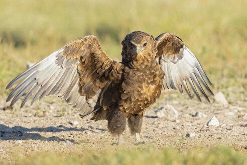 Botswana, Kgalagadi Transfrontier National Park, Mabuasehube Game Reserve, Bataleur eagle, young animal, Terathopius ecaudatus - FOF10219