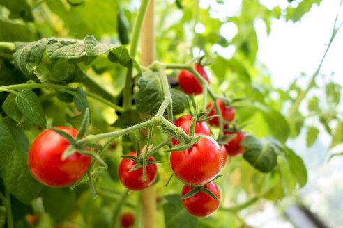 Organic tomato plant, red tomatoes - NDF00791