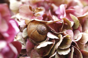 Snail on petals of Hydrangea - JTF01042