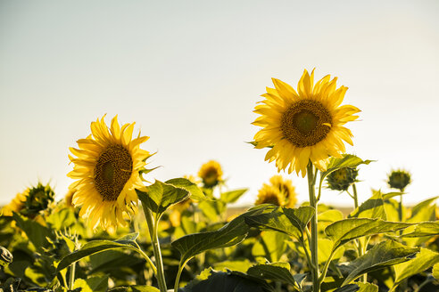 Field of sunflowers at sunset - ACPF00298