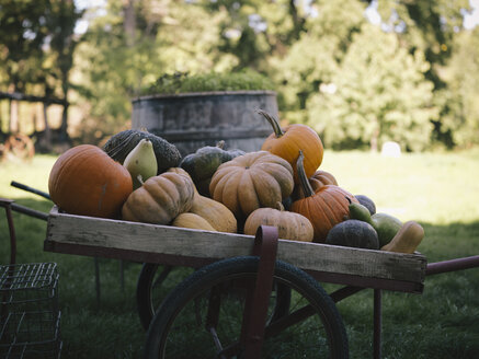 Harvested pumpkins on wheelbarrow - RAMAF00058