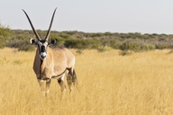 Botswana, Kalahari, Central Kalahari Game Reserve, Kudu, Tragelaphus strepsiceros - FOF10237
