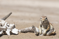 Botswana, Kalahari, Central Kalahari Game Reserve, Unstriped ground squirrels, Xerus rutilus - FOF10246