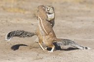 Botswana, Kalahari, Central Kalahari Game Reserve, Unstriped ground squirrels, Xerus rutilus - FOF10249