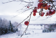 Red apples on branch in winter, Long Creek, Prince Edward Island, Canada - AURF02412