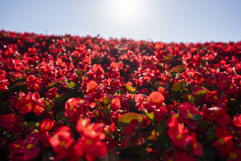 China, red flowers against the sun - KKAF01526