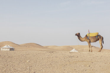 Morocco, desert, camel and tents in the background - MMAF00513