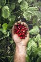 A handful of wild strawberries - AURF02664