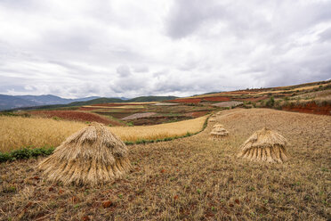 China, Yunnan province, Dongchuan, Red Land, field during harvest - KKAF01535